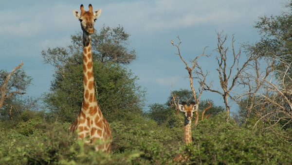 limpopo limpadi botswana safari experience